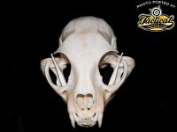 Cleaning and Whitening Skulls