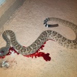 Rattlesnake On the Grill: By Scott Mayer