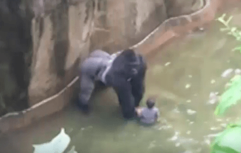 The gorilla now has child and has been dragging him around the enclosure.