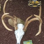 European Deer Skull Mount