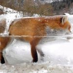Fox Frozen in Danube