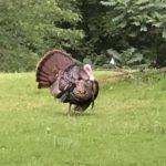POTD – Wild Turkey