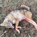 Coyote Down